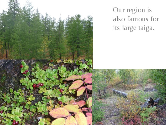Our region is also famous for its large taiga.