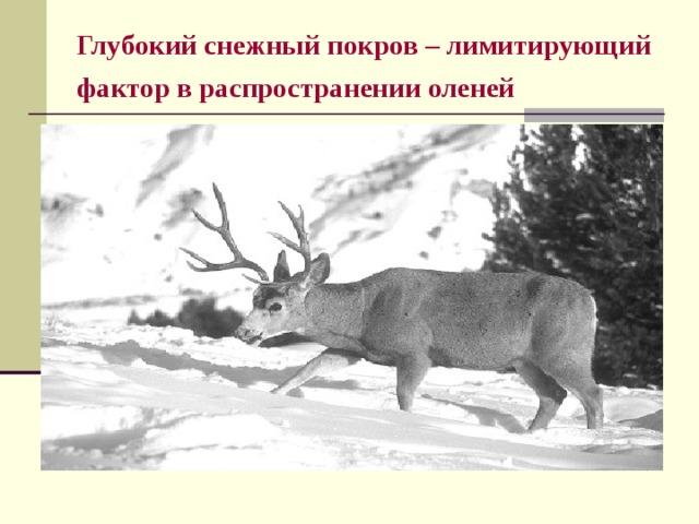 Глубокий снежный покров – лимитирующий фактор в распространении оленей