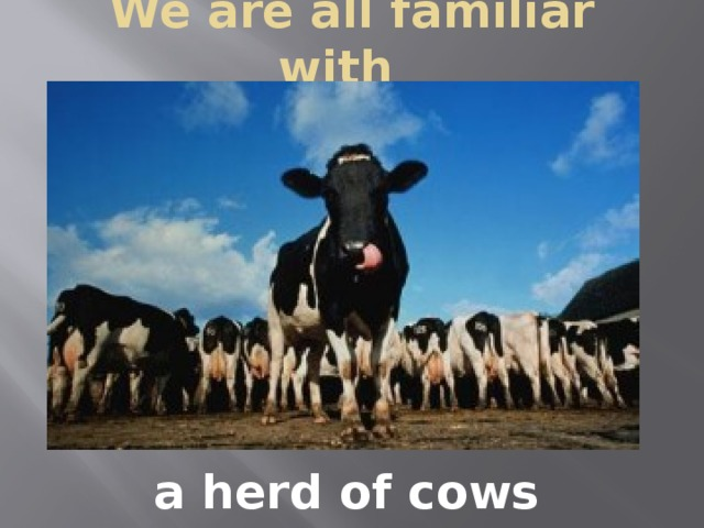 We are all familiar with   a herd of cows