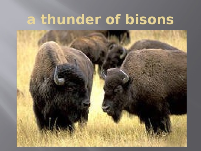 a thunder of bisons