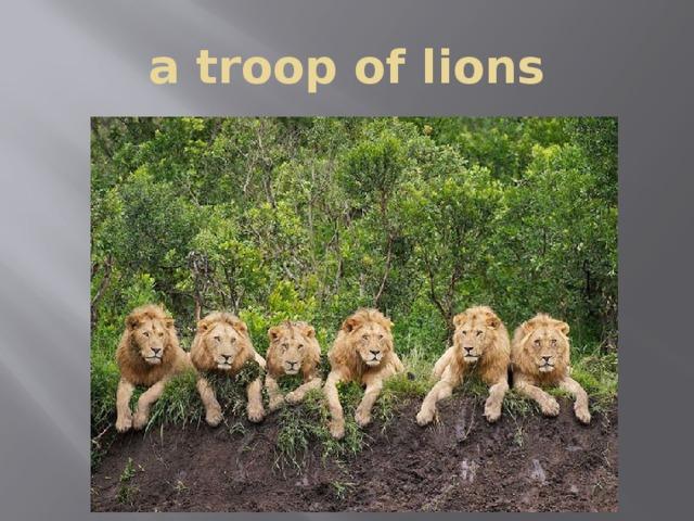 a troop of lions