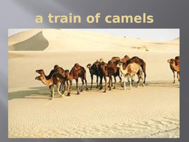 a train of camels