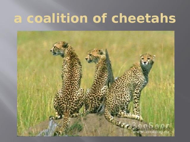 a coalition of cheetahs