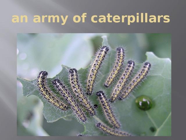 an army of caterpillars