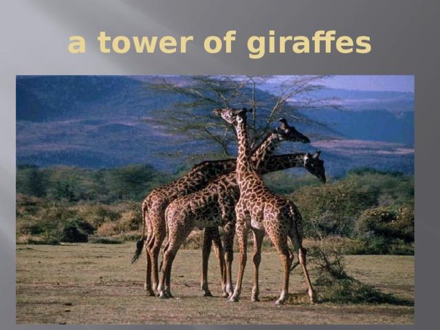 a tower of giraffes