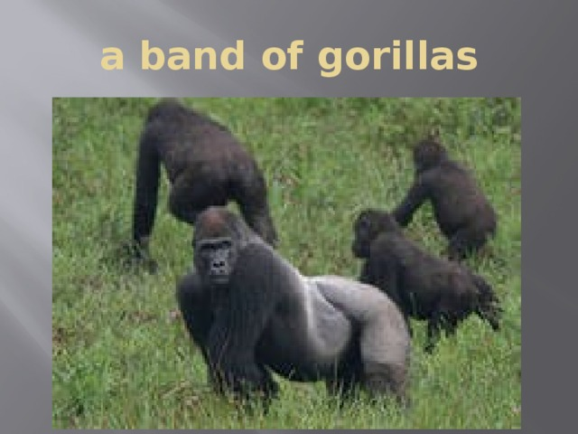 a band of gorillas