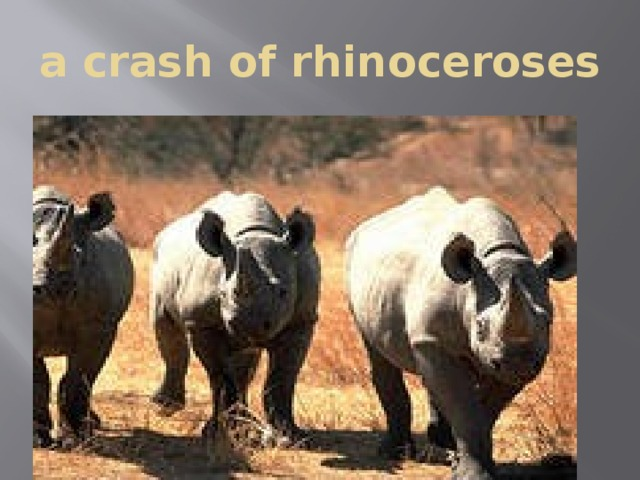 a crash of rhinoceroses