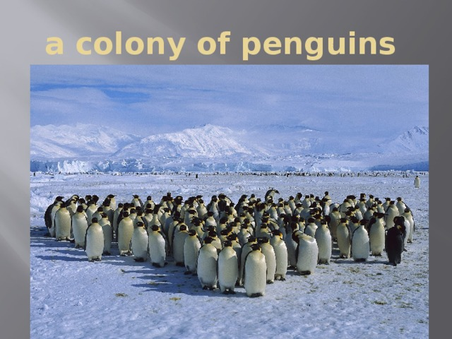 a colony of penguins