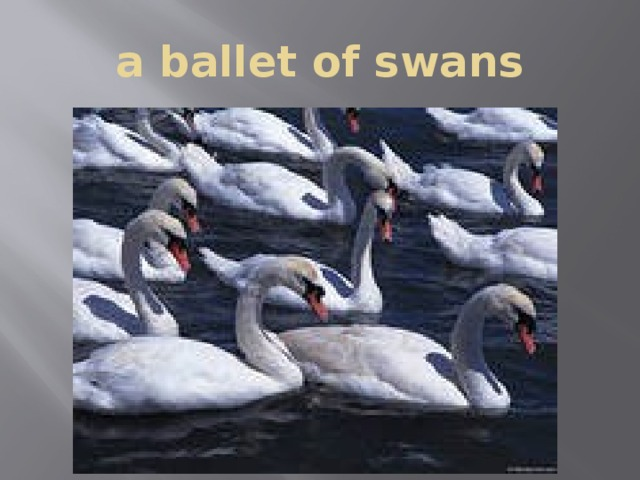 a ballet of swans