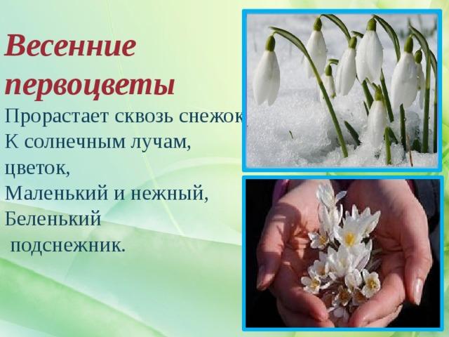 Весенние первоцветы  Прорастает сквозь снежок,  К солнечным лучам, цветок,  Маленький и нежный,  Беленький  подснежник.