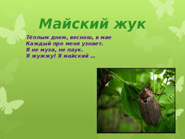 Майский жук Тёплым днем, весною, в мае Каждый про меня узнает. Я не муха, не паук. Я жужжу! Я майский …
