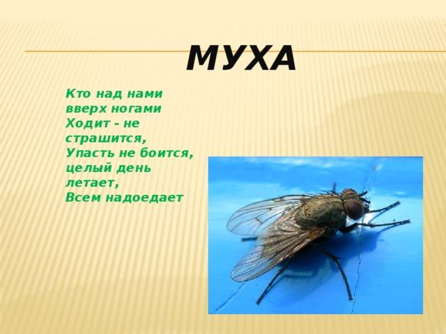 Муха Кто над нами вверх ногами Ходит - не страшится, Упасть не боится, целый день летает, Всем надоедает