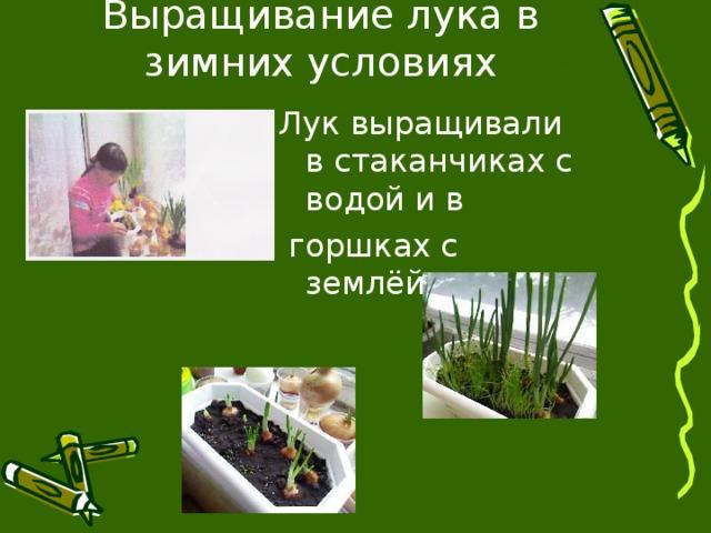 Выращивание лука в зимних условиях Лук выращивали в стаканчиках с водой и в  горшках с землёй.