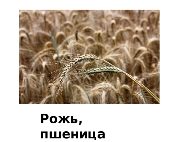 Рожь, пшеница
