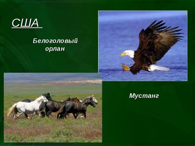 США Белоголовый орлан  Мустанг