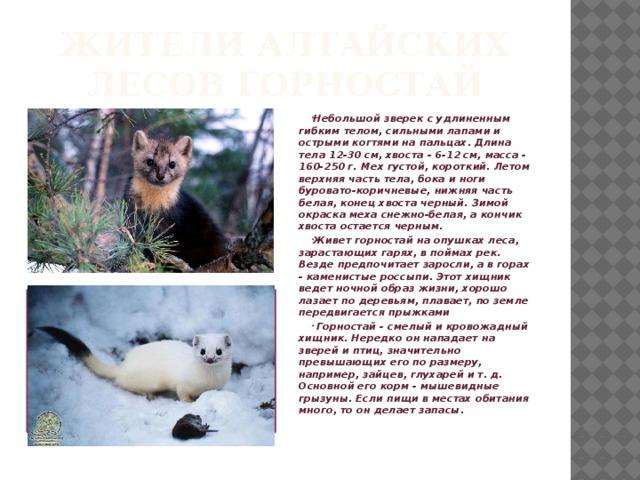 Жители Алтайских лесов Горностай