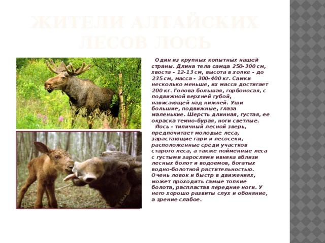 Жители Алтайских лесов лось