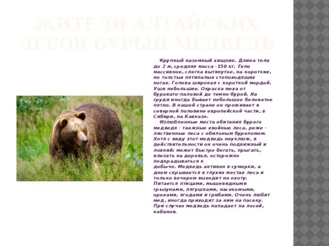 Жители Алтайских лесов бурый медведь