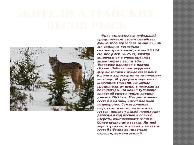 Жители Алтайских лесов рысь