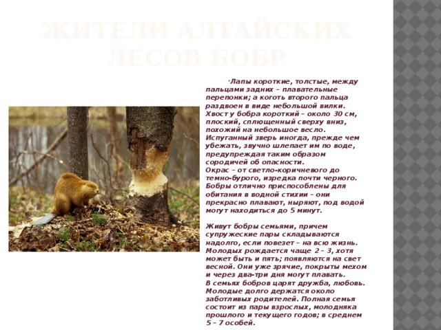 Жители Алтайских лесов бобр