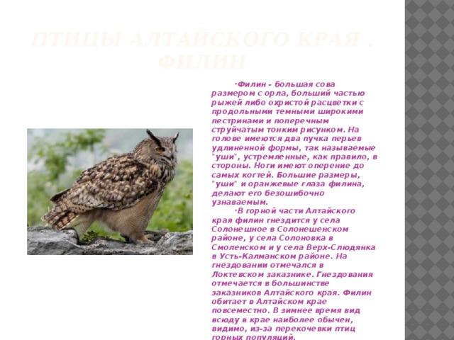 Птицы алтайского края .  филин