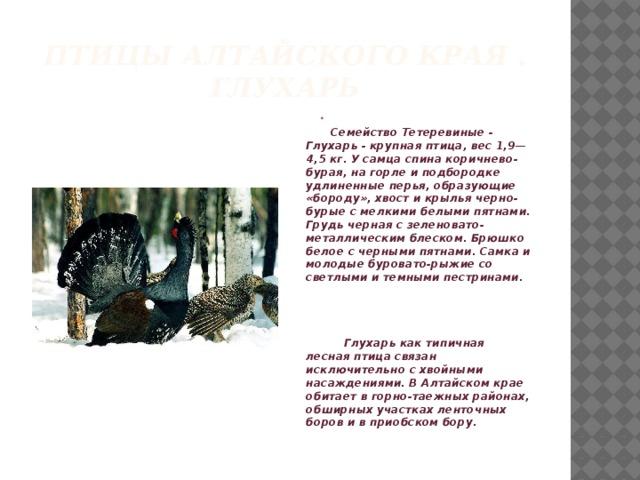 Птицы алтайского края .  глухарь