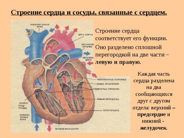 Строение сердца и сосуды, связанные с сердцем.  Строение сердца соответствует его функции. Оно разделено сплошной перегородкой на две части – левую и правую . Каждая часть сердца разделена на два сообщающихся друг с другом отдела: верхний – предсердие и нижний - желудочек .