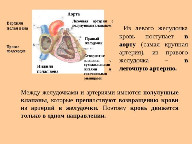 Аорта Легочная артерия с полулунным клапаном  Из левого желудочка кровь поступает в аорту (самая крупная артерия), из правого желудочка – в легочную артерию. Верхняя полая вена Правый желудочек Правое  предсердие Створчатые  клапаны с сухожильными нитями и сосочковыми мышцами Нижняя полая вена Между желудочками и артериями имеются полулунные клапаны , которые препятствуют возвращению крови из артерий в желудочки. Поэтому кровь движется только в одном направлении.