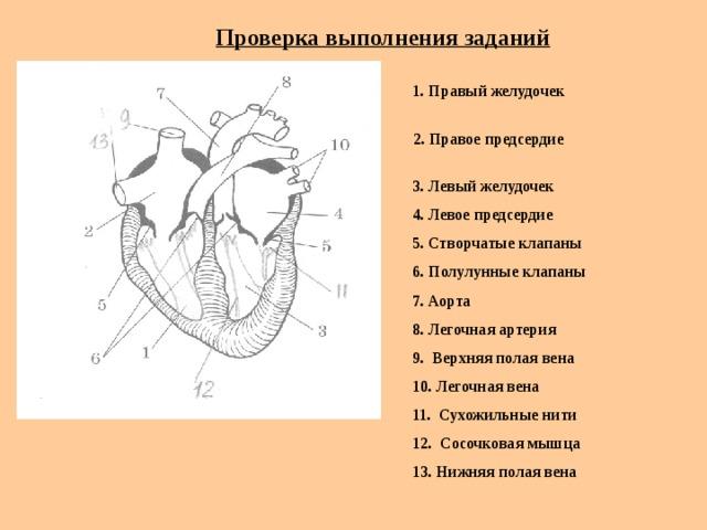 Проверка выполнения заданий  1. Правый желудочек  2. Правое предсердие  3. Левый желудочек  4. Левое предсердие  5. Створчатые клапаны  6. Полулунные клапаны  7. Аорта  8. Легочная артерия  9. Верхняя полая вена  10. Легочная вена  11. Сухожильные нити  12. Сосочковая мышца  13. Нижняя полая вена