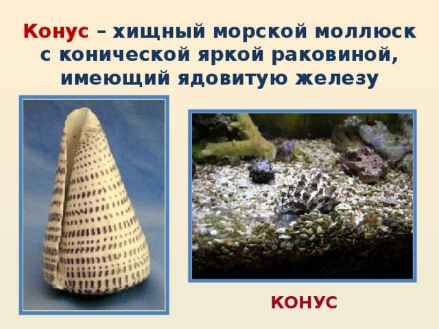 Конус – хищный морской моллюск с конической яркой раковиной, имеющий ядовитую железу КОНУС
