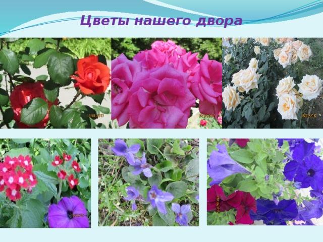 Цветы нашего двора