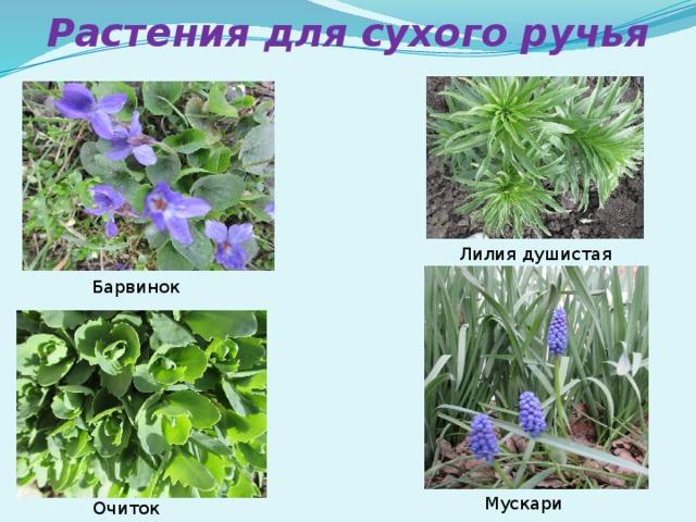 Растения для сухого ручья Лилия душистая Барвинок Мускари Очиток