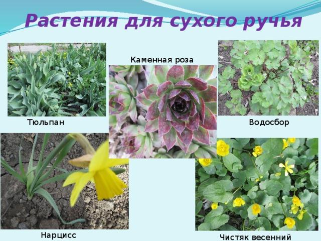 Растения для сухого ручья Каменная роза Тюльпан Водосбор Нарцисс Чистяк весенний