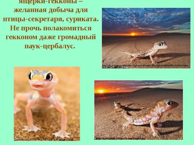 По дюнам бегают юркие ящерки-гекконы – желанная добыча для птицы-секретаря, суриката. Не прочь полакомиться гекконом даже громадный паук-цербалус.