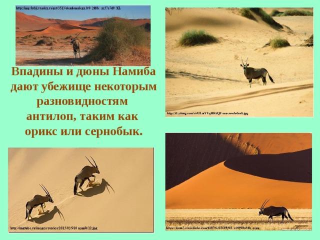 Впадины и дюны Намиба дают убежище некоторым разновидностям антилоп, таким как орикс или сернобык.