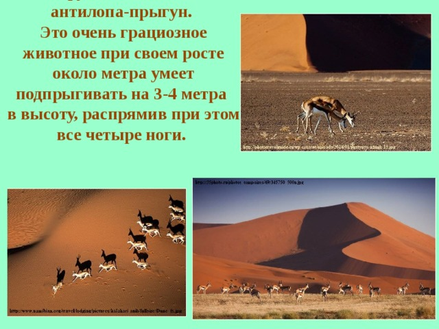 Обитает антилопа спрингбок, которую еще называют антилопа-прыгун. Это очень грациозное животное при своем росте около метра умеет подпрыгивать на 3-4 метра в высоту, распрямив при этом все четыре ноги.