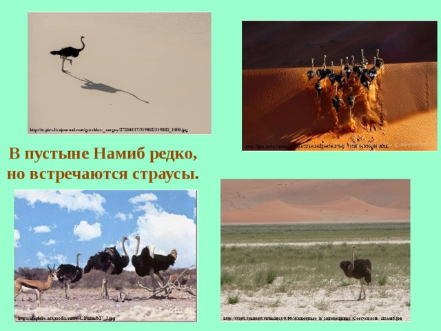 В пустыне Намиб редко, но встречаются страусы.