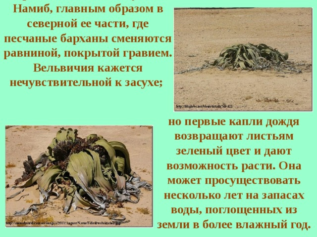 Одно из растений вельвичия встречается только в пустыне Намиб, главным образом в северной ее части, где песчаные барханы сменяются равниной, покрытой гравием. Вельвичия кажется нечувствительной к засухе; но первые капли дождя возвращают листьям зеленый цвет и дают возможность расти. Она может просуществовать несколько лет на запасах воды, поглощенных из земли в более влажный год.
