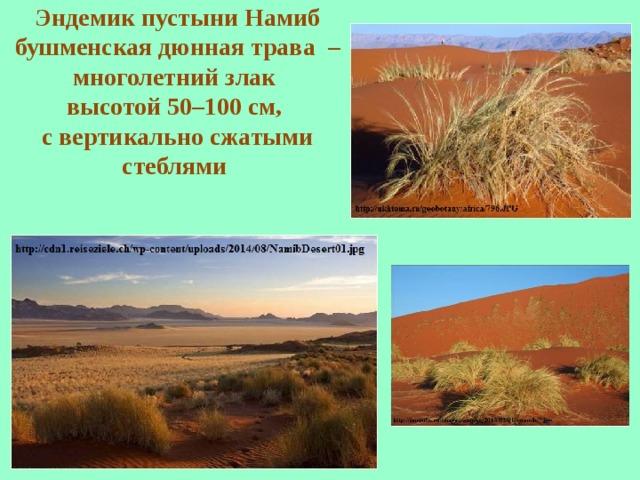 Эндемик пустыни Намиб бушменская дюнная трава  – многолетний злак высотой 50–100 см, с вертикально сжатыми стеблями