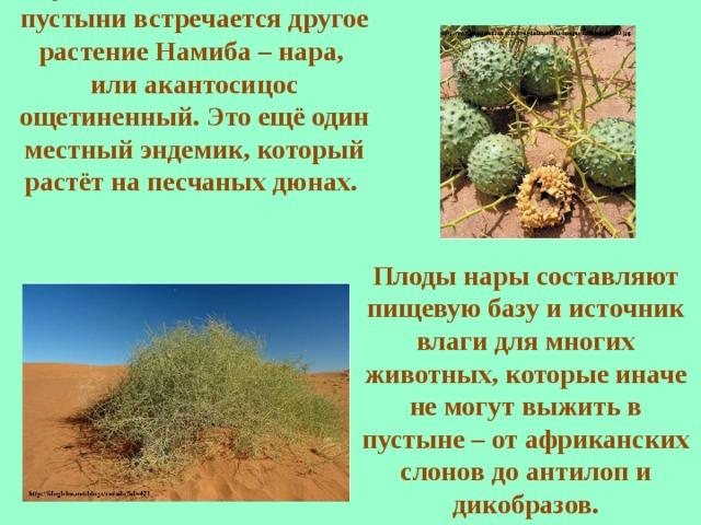 В чуть более влажных местах пустыни встречается другое растение Намиба – нара, или акантосицос ощетиненный.  Это ещё один местный эндемик, который растёт на песчаных дюнах. Плоды нары составляют пищевую базу и источник влаги для многих животных, которые иначе не могут выжить в пустыне – от африканских слонов до антилоп и дикобразов.