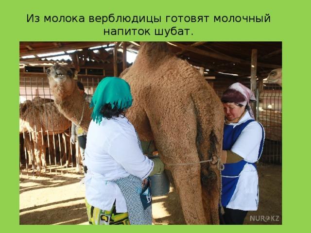 Из молока верблюдицы готовят молочный напиток шубат.