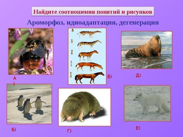 Найдите соотношения понятий и рисунков Ароморфоз, идиоадаптация, дегенерация Д) В) А) Е) Б) Г)