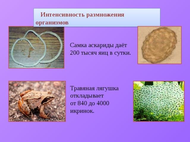 Интенсивность размножения организмов Самка аскариды даёт 200 тысяч яиц в сутки. Травяная лягушка откладывает от 840 до 4000 икринок.