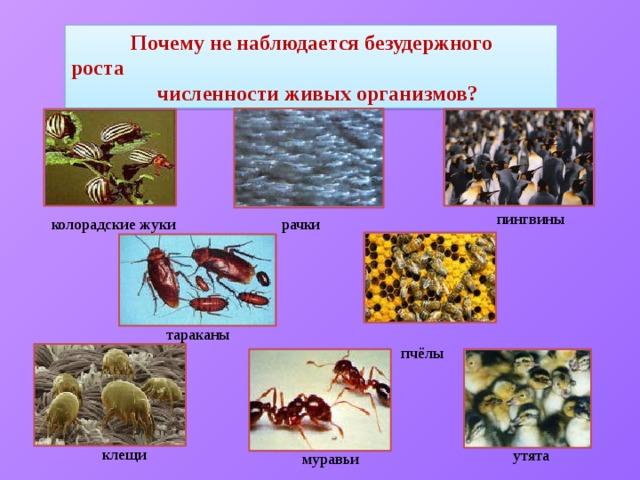 Почему не наблюдается безудержного роста  численности живых организмов?  пингвины рачки колорадские жуки  тараканы  пчёлы  клещи  утята  муравьи