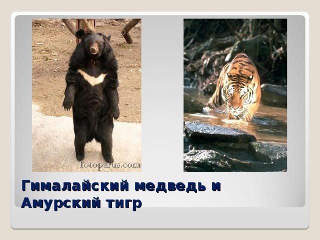 Гималайский медведь и Амурский тигр