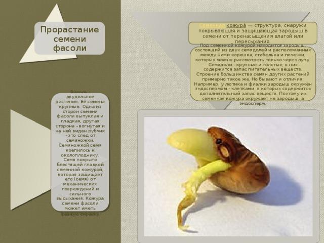Прорастание семени фасоли Семенная кожура́ — структура, снаружи покрывающая и защищающая зародыш в семени от перенасыщения влагой или пересыхания. Под семенной кожурой находится зародыш, состоящий из двух семядолей и расположенных между ними корешка, стебелька и почечки, которых можно рассмотреть только через лупу. Семядоли - крупные и толстые, в них содержится запас питательных веществ. Строение большинства семян других растений примерно такое же. Но бывают и отличия. Например, у лютика и фиалки зародыш окружён эндоспермом - клетками, в которых содержится дополнительный запас веществ. Поэтому их семенная кожура окружает не зародыш, а эндосперм. Фасоль - двудольное растение. Её семена крупные. Одна из сторон семени фасоли выпуклая и гладкая, другая сторона - вогнутая и на ней виден рубчик - это след от семяножки. Семяножкой семя крепилось к околоплоднику. Семя покрыто блестящей гладкой семенной кожурой, которая защищает его (семя) от механических повреждений и сильного высыхания. Кожура семени фасоли может иметь разную окраску.