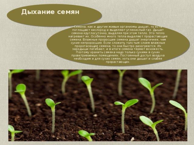 Дыхание семян   Семена, как и другие живые организмы дышат, то есть поглощают кислород и выделяют углекислый газ. Дышат семена круглосуточно, выделяя при этом тепло. Это тепло нагревает их. Особенно много тепла выделяют прорастающие семена. Влажные проросшие семена дышат энергичнее, чем сухие непроросшие. Если сложить толстым слоем влажные проротасющие семена, то они быстро разогреются. Их зародыши погибают, и в итоге семена теряют всхожесть. Поэтому хранить семена надо только сухими в сухих проветриваемых помещениях. Постоянный доступ воздуха необходим и для сухих семян, хоть они дышат и слабее прорастающих.