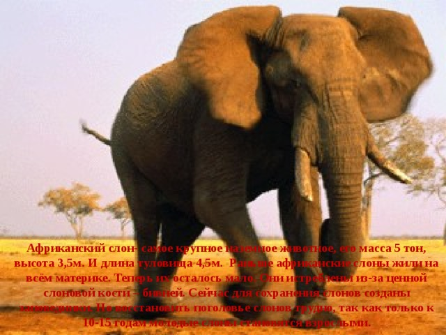 Африканский слон- самое крупное наземное животное, его масса 5 тон, высота 3,5м. И длина туловища 4,5м. Раньше африканские слоны жили на всём материке. Теперь их осталось мало. Они истреблены из-за ценной слоновой кости – бивней. Сейчас для сохранения слонов созданы заповедники. Но восстановить поголовье слонов трудно, так как только к 10-15 годам молодые слоны становятся взрослыми.