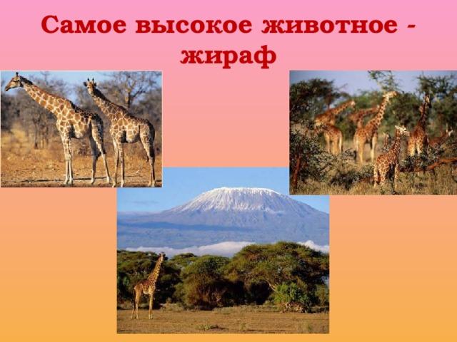 Самое высокое животное - жираф