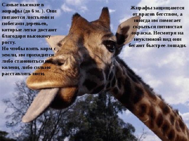 Самые высокие в жирафы (до 6 м. ). Они питаются листьями и побегами деревьев, которые легко достают благодаря высокому росту. Но чтобы взять корм с земли, им приходится либо становиться на колени, либо сильно расставлять ноги.  Жирафы защищаются от врагов бегством, а иногда им помогает скрыться пятнистая окраска. Несмотря на неуклюжий вид они бегают быстрее лошади.